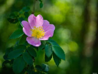 Rosa by Merkosh