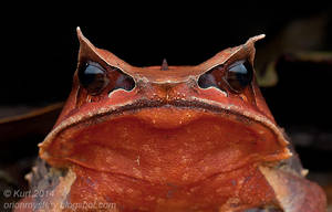 Malayan Horned Frog by orionmystery