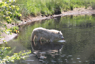 drinking wolf by michawolf
