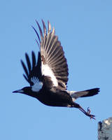 Magpie leaping into flight by Creative-Addict