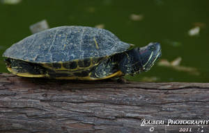 Pond turtle by Zouberi