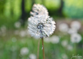 Dandelion by Zouberi
