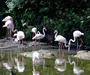 Flamingoes 01 by cemacStock
