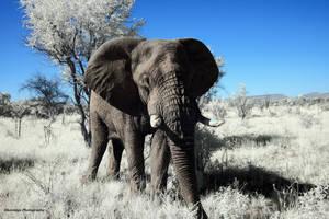 Infrared Animals - Forward Elephant by Okavanga