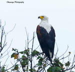 Fish Eagle by Okavanga