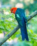 King Parrot by Okavanga