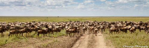 Wildebeest 4 by Okavanga
