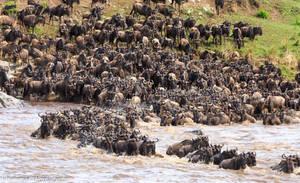 Wildebeest Mara River-3 by Okavanga