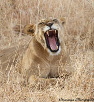 Lioness Yawning by Okavanga