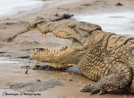 Cool Croc! by Okavanga