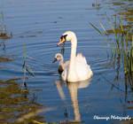 Swan and Cygnet by Okavanga