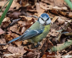Whiskery Blue Tit - Hare Hill by Okavanga