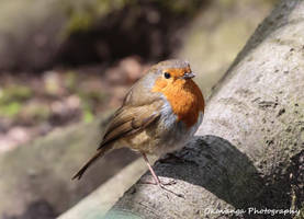 One-Eyed Robin Right View - Hare Hill by Okavanga