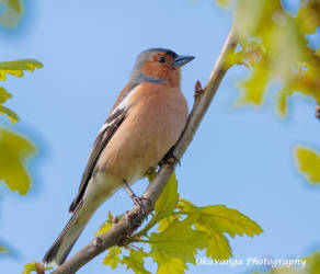 Male Chaffinch, Mersehead by Okavanga