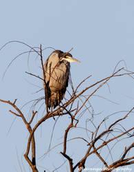 Black-headed Heron by Okavanga