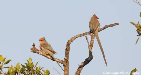 Redfaced Mousebirds by Okavanga