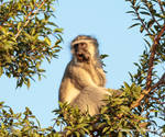 Vervet Monkey 2 by Okavanga