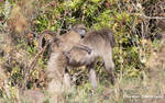 Female Baboon plus Infant by Okavanga