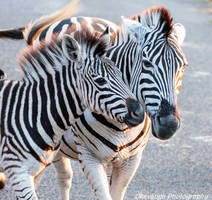 Zebra Mum and Foal by Okavanga