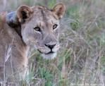 Female Lion by Okavanga