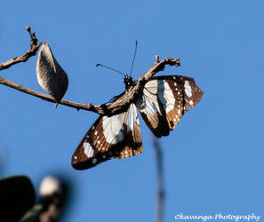 Lonesome Butterfly by Okavanga