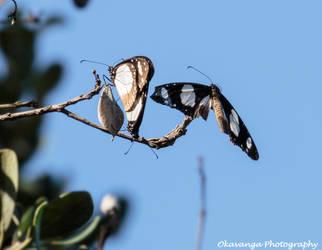 Butterfly Duet Plus One! by Okavanga