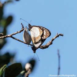 Butterfly Duet by Okavanga