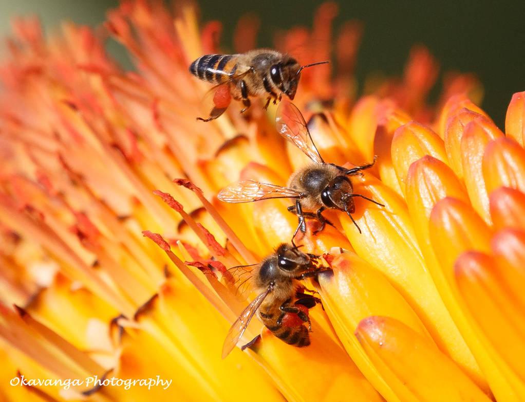 Feeding Bees by Okavanga