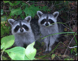 Raccoons by asdffds
