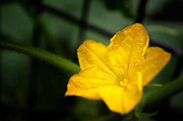 Cucumber Flower by Maeniel