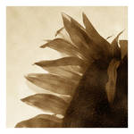 Sunflower 06 by HorstSchmier