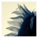 Sunflower 08 by HorstSchmier