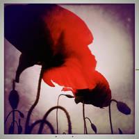 Poppy 02 by HorstSchmier