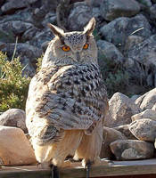 owl by awjay