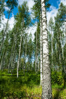 Birches by valkeeja