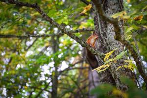 Squirrel by valkeeja