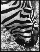 Zebra by Olomunyak