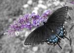 Swallowtail on Butterfly Bush by tleach0608