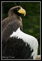 Stellar's Sea Eagle by tleach0608