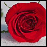 Rose Red by tleach0608