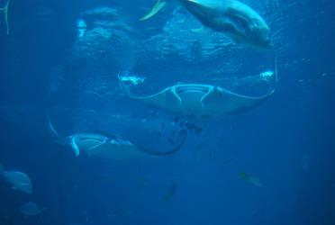 manta ray 1.6 by meihua-stock