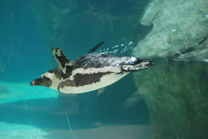 african penguin 4.2 - dive by meihua-stock