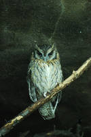 collared scops owl 1 by meihua-stock