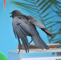 american crow 2.6 by meihua-stock