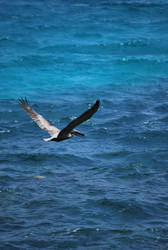 brown pelican 6.2 by meihua-stock