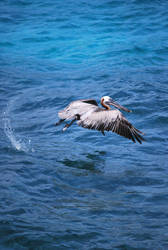 brown pelican 6.10 by meihua-stock