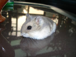 hamster 2.1 by meihua-stock
