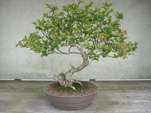 bonsai 1.1 by meihua-stock