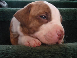 A Pitbull Puppy at 3 Weeks Old by lostinvast