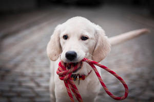 Golden retriever Ennie by Lina-182